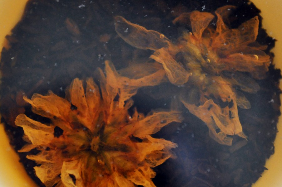 Two Chrysanthemum blossoms floating in tea