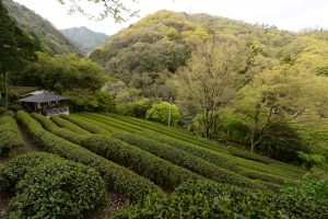 Green Tea Plantation near Kobe